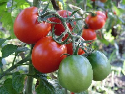 thumb_tomato-2983135_1920